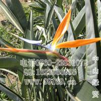 天堂鸟鹤望兰(图)大量供应各规格常绿灌木地被袋苗盆苗价格