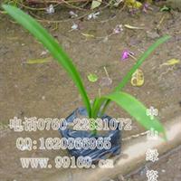 蜘蛛兰美洲水鬼蕉水鬼蕉蜘蛛百合供应灌木地被植物价格电议
