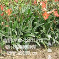 朱顶红(百枝莲、柱顶红、朱顶兰)批发供应朱顶红袋苗灌木地被