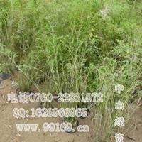 批发供应凤尾竹(观音竹、米竹、筋头竹、蓬莱竹)(图)竹类