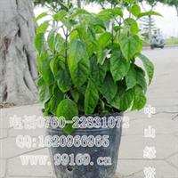 龙吐珠(麒麟吐珠珍珠宝草)图供应藤本灌木地被时花四季花卉