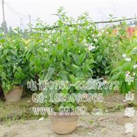 龙吐珠(麒麟吐珠珍珠宝草珍珠宝莲臭牡丹藤)供藤本灌木地被