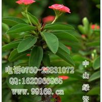 供应虎刺梅(铁海棠、麒麟刺、麒麟花)图虎刺梅价格灌木地被