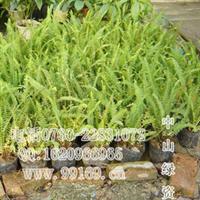 供应肾蕨(蜈蚣草、圆羊齿、石黄皮)(图)大量袋苗灌木地被出售