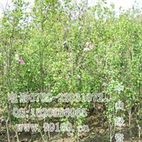供应粉花木槿(无穷花,沙漠玫瑰)粉花木槿价格,常绿灌木地被