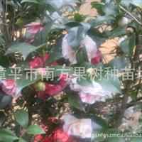 供应茶花苗,一株茶花可长五种颜色的茶花小苗-五彩茶花小苗