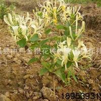 厂家提供四季树形金银花树苗金银花种植规格齐全优质花苗
