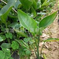福建鹤望兰价格漳州马口天堂鸟图片种植方法绿化树苗盆栽批发