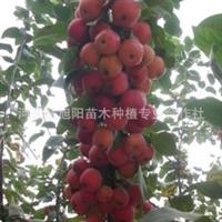 供应长寿果苗冬红海棠苗冬红果苗