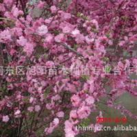 供应优质黄金槐黄金槐价格冠幅150厘米黄金槐