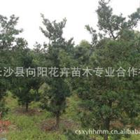 乔木-向阳花木合作社优价批发胸径6公分罗汉松罗汉松价格优惠