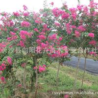 乔木-长沙向阳花木基地供优质城市美化苗木胸径3-20公分紫薇