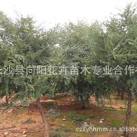 乔木-湖南红豆杉优质防癌植物胸径3公分红豆杉直销量大价优