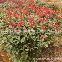 球灌木-供应优质苗木250*200红叶石楠球量大价优求购红叶石楠