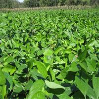 供应优质中药材种子杜仲种子杜仲种子播种方法发芽率高