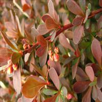 大量供应红叶小檗苗红叶小檗种子红叶小檗种子价格新采种子
