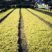 低价出售过路黄金钱草过路黄种子绿化苗木批发品种齐全