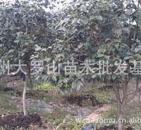 浙江温州瓯海供应绿化工程苗木:桂花树金桂四季桂茶花罗汉松