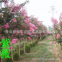 直销速生紫薇园林植物【图】