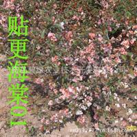 直销速生海棠园林植物【图】