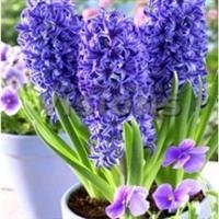 超达花卉荷兰进口风信子种球蓝星室内植物批发价2.5元/个