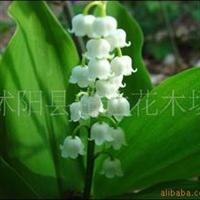 供应铃兰铃兰苗盆栽观赏花卉芳香现货优惠