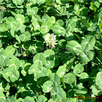 供应优质草坪种子包衣白三叶种子发芽率高暖季型保质保量