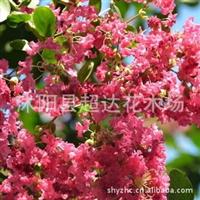 庭院花卉植物紫薇树苗百日红紫薇种子花期长紫薇苗大小齐全
