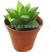 仙人植物玉露具有净化空气防辐射植物带盆栽好