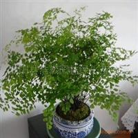 室内办公桌面绿植花卉盆栽观叶植物盆景净化空气铁线蕨