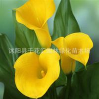 进口高档彩色马蹄莲马蹄莲种球花卉种球颜色齐全