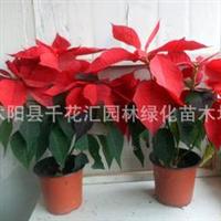 盆栽花卉一品红又名万年红大红大紫寓意前程似锦