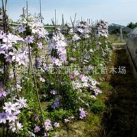 爬藤植物铁线莲铁线莲种根多色供选藤本家族新宠