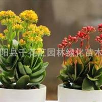 室内桌面花卉植物盆栽重瓣长寿花庭院盆栽不雅观花植物