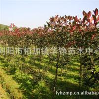 华铮苗木中心优质供应出售规格齐全价格合理优质红叶石楠