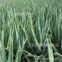 长年供应库拉索芦荟天然护肤美容植物、
