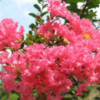 【专业供应】百日红丛生红花紫薇大小规格齐全 红花紫薇苗