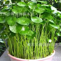 水生植物金钱草又名铜钱草紫菖蒲荷花