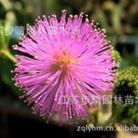 供应含羞草种子、罗勒等种子。江苏步晴种子公司。
