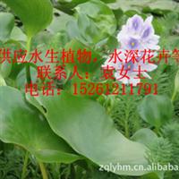 供应水生植物梭鱼草菖蒲千屈菜荷花等水生花卉批发