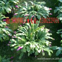 蟹爪兰花卉,批发蟹爪兰,蟹爪兰花卉盆景