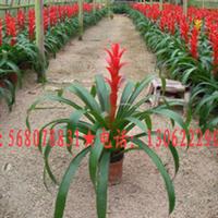 园艺花卉凤梨花,丹尼斯,红星,凤梨花,出售凤梨花
