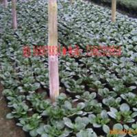 供应豆瓣绿苗,碧玉供应,豆瓣绿盆栽,观叶植物碧玉