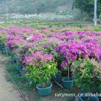 供应促销三角梅新品种,少见的塔紫三角梅,叶子和花重重叠叠