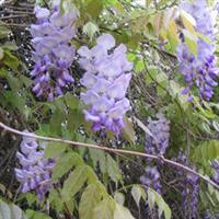 大量供应紫藤多年苗,高1.5米左右