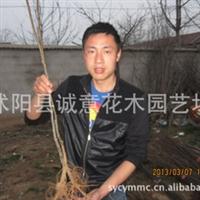 2013最新销售小苗价格红榉小苗1米高