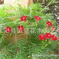 沭阳县诚意园林苗木场供应彩包种子藤本植物槭叶茑萝种子原包装