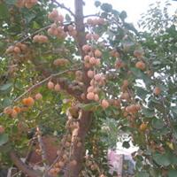 今年新下来的5000斤银杏种子白果种子批发果树种子