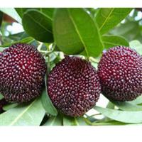 批发供应优质林木种子杨梅种子保质保量
