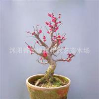 盆栽红梅苗老桩矮化绿梅苗6年大苗1棵全国包邮